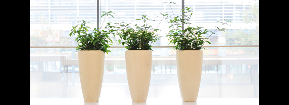 three-arboracola-in-tall-containers-for-slider