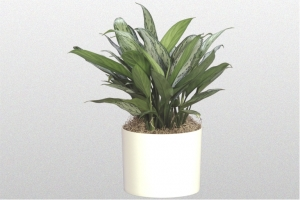 "Aglaonema ""Silver Queen"""