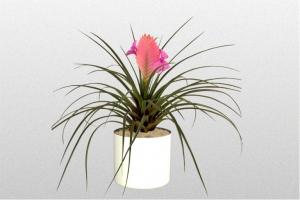 Bromeliad Cyanea
