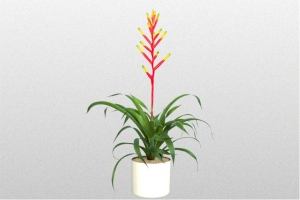 Bromeliad Dissitiflora