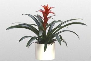 Bromeliad Ostara