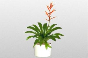 Bromeliad Zamorensis