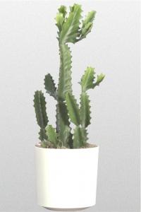 Cactus Candleabra