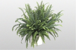 "Fern ""Kimberly Queen"""