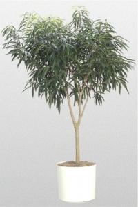 """Ficus """"Alii"""""""