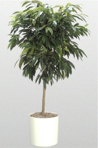 """Ficus """"Amstel King"""""""