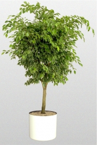 "Ficus Benjamina ""Golden Princess"""