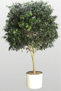 """Ficus Benjamina """"Indigo"""""""