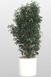 "Ficus Benjamina ""Midnight"""