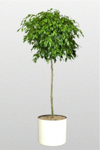 """Ficus Benjamina """"Monique"""""""
