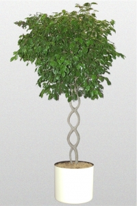 Ficus Benjamina Open Braid