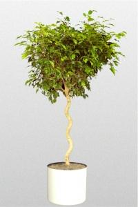 Ficus Benjamina Spiral