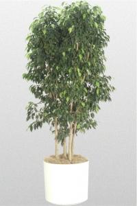 "Ficus Benjamina ""Spire"""