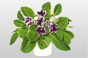 Gloxinia Purple