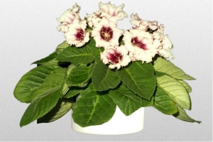 Gloxinia White