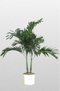 Palm Alexander