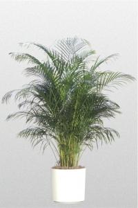 Palm Areca