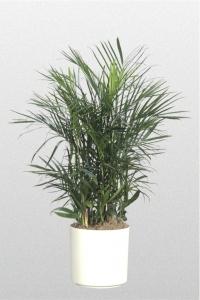 Palm Bamboo