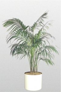 Palm Kentia