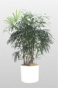 Palm Lady