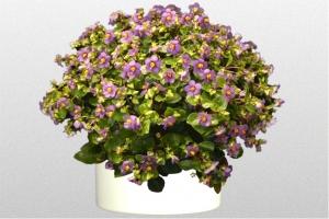 Persian Violet