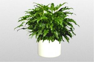 "Philodendron ""Xanadu"""