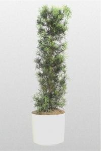 """Podocarpus Macrophyllus """"Maki"""""""