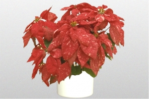 Poinsettia Peppermint