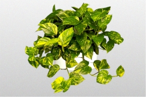 """Devils Ivy """"Golden Pothos"""""""