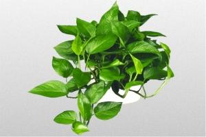"Devils Ivy ""Jade"""