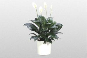 "Spathiphyllum ""Figaro"""