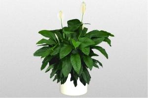 """Spathiphyllum """"Lynise"""""""