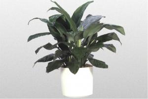 "Spathiphyllum ""Sensation"""