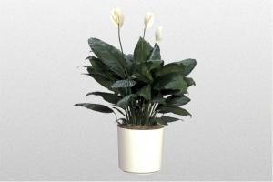"""Spathiphyllum """"Muana Loa"""" Supreme"""