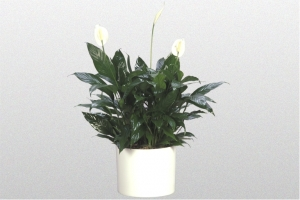 "Spathiphyllum ""Taylors Green"""