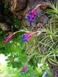 Tillandsia Air Carnation
