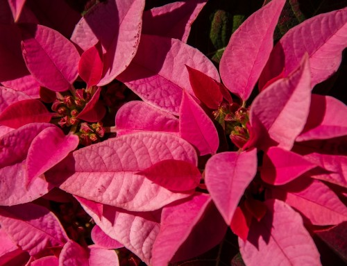 Poinsettias, The History You Never Knew
